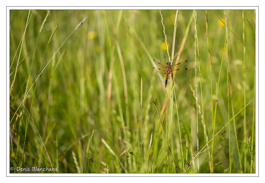 denis-blanchard-quadrimaculata-1
