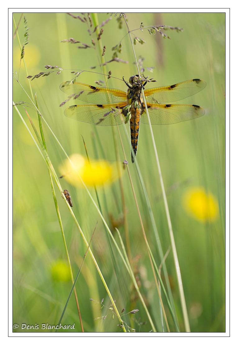 denis-blanchard-quadrimaculata-13