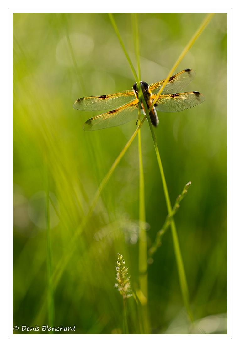 denis-blanchard-quadrimaculata-3