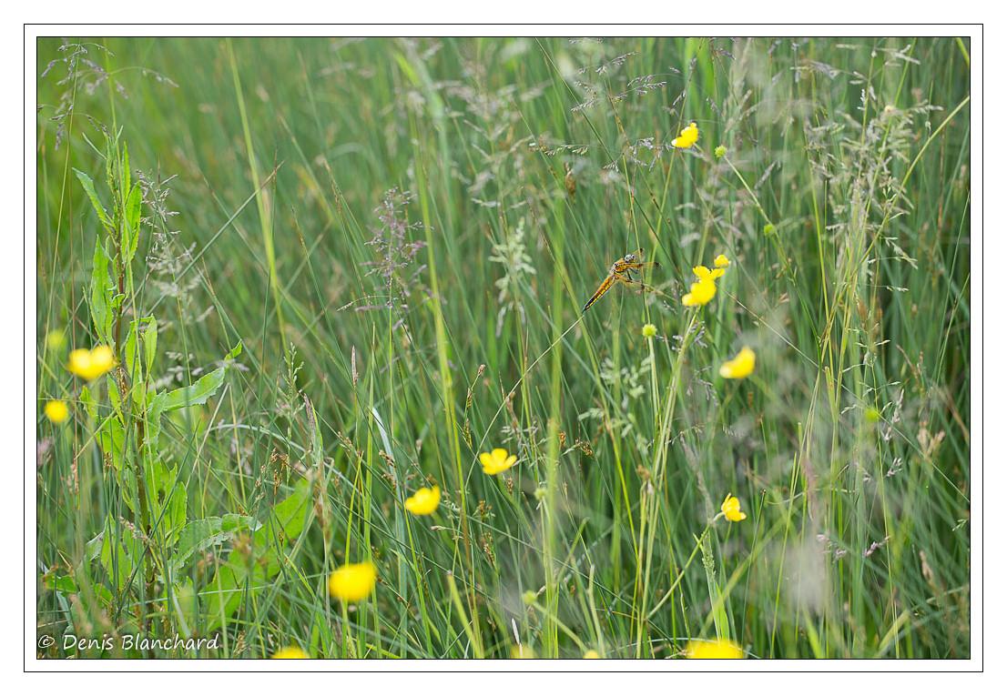denis-blanchard-quadrimaculata-5