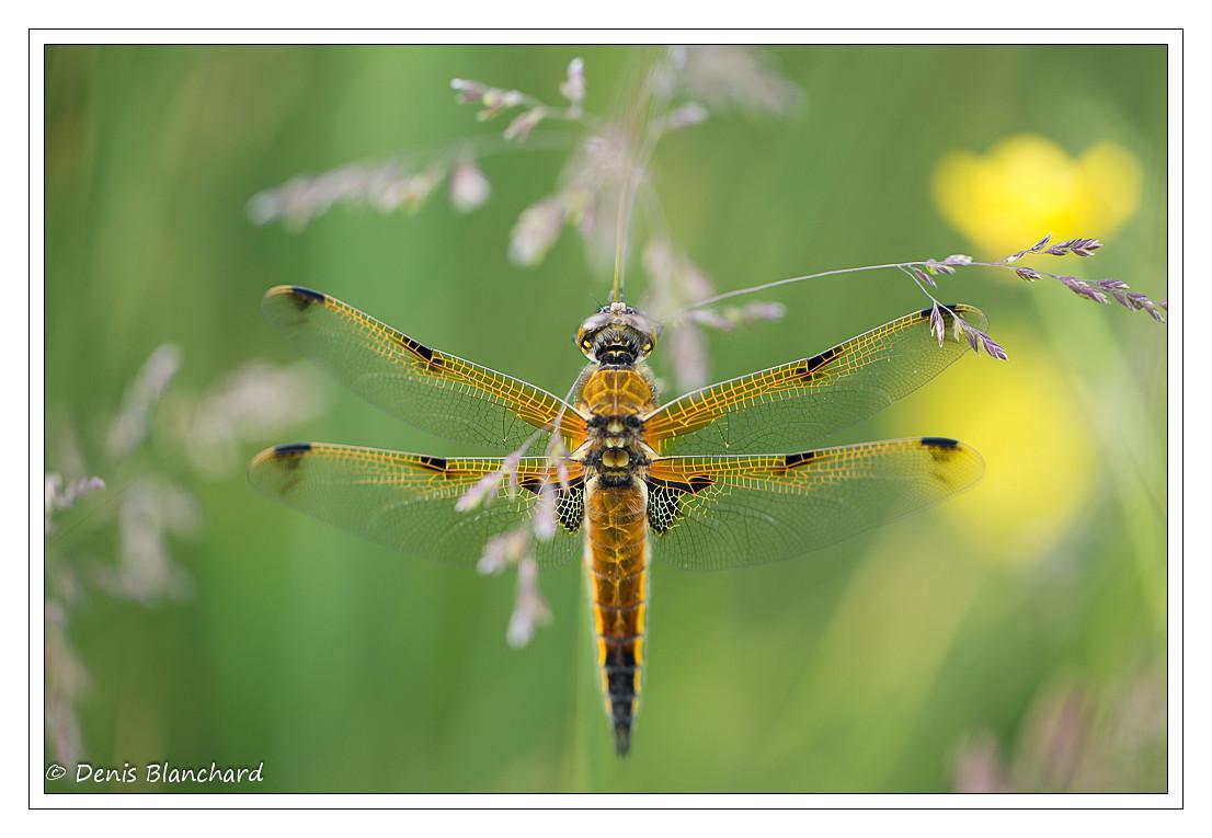 denis-blanchard-quadrimaculata-8