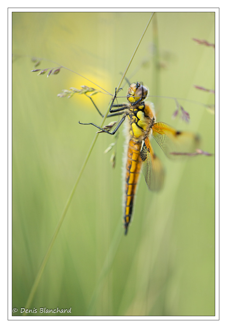 denis-blanchard-quadrimaculata-9