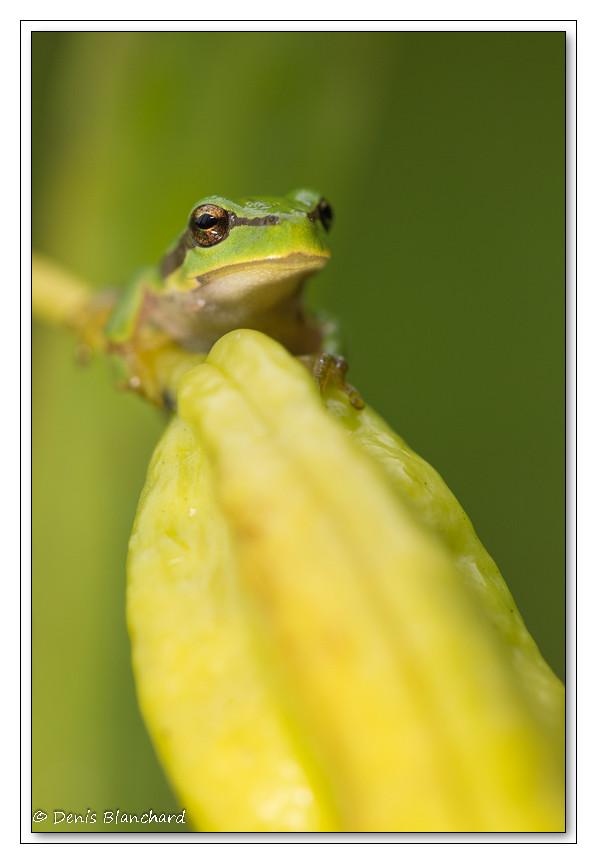 Rainette arboricole sur une gousse d'iris