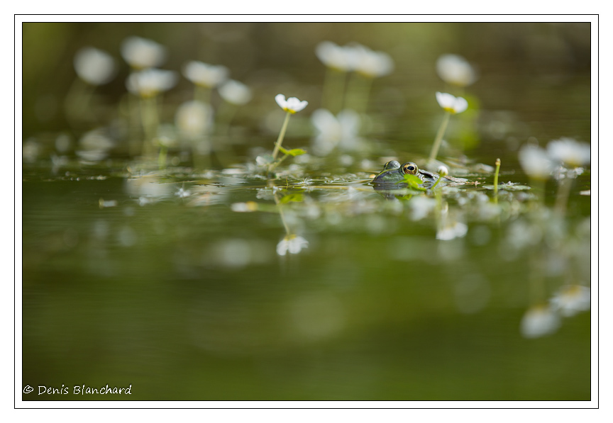 denis-blanchard-grenouilles-1