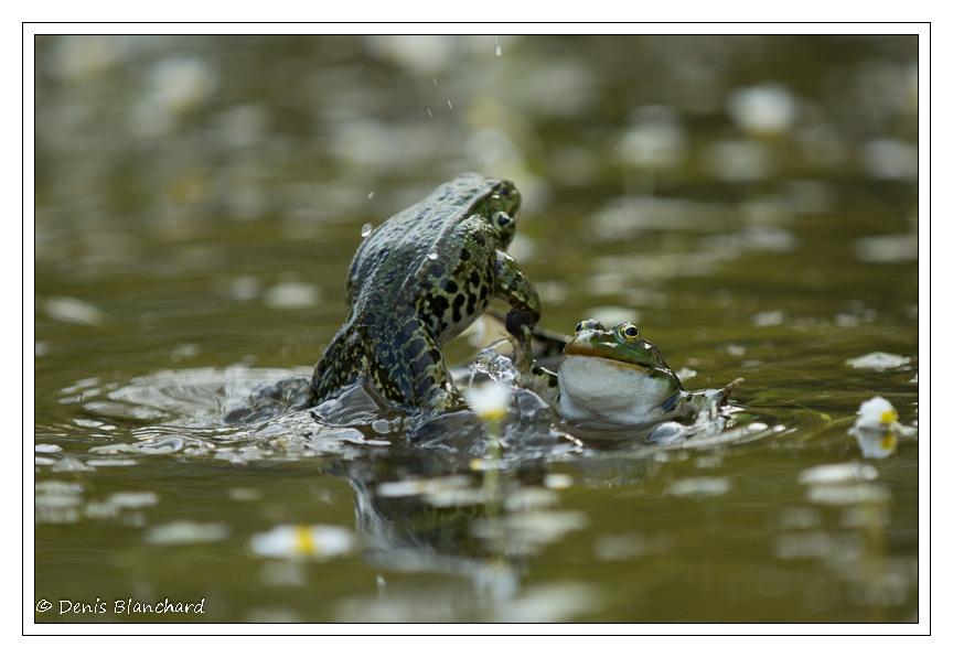 denis-blanchard-grenouilles-4